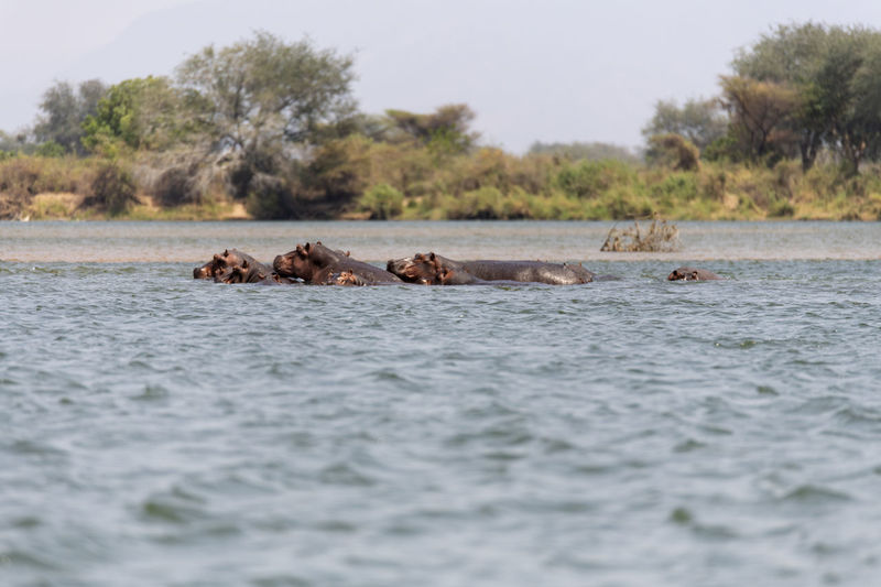 View of hippos swimming in river