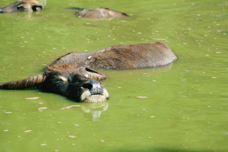 Water Buffaloes Relaxing On Sunny Day