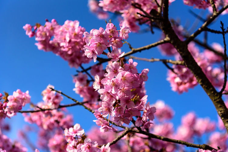 Flower Flowering Plant Fragility Plant Vulnerability  Freshness Blossom Pink Color Beauty In Nature Springtime Tree Branch Growth Sky Low Angle View Nature Petal Close-up No People Cherry Blossom Flower Head Outdoors Cherry Tree Plum Blossom Kawazu-zakura