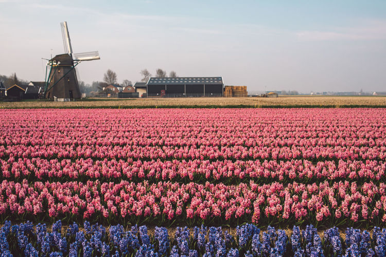 Hyacinth Windmill Flowers Dutch Landscape Netherlands Springtime Spring Cultivated Land Architecture Day Nature Beauty In Nature Outdoors Landscape