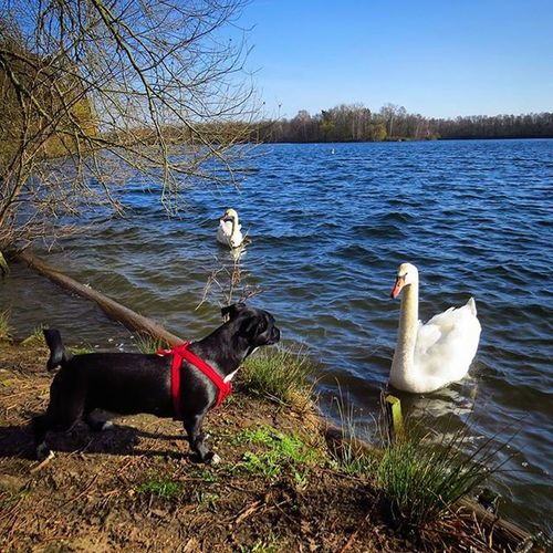 Special Encounter 🐕🕊 Dogemma Dog Meets Swan Hund Dogofinstagram Dogstagram Dogs Dogoftheday Dogmodel Lovelydog  Lovelydogs Pet Pets Petstagram Petsofinstagram Petsoriginal Cute Animal Animals Animalfind Animallovers Sea Nature special_shots specialencountersbeautífulanimalshot