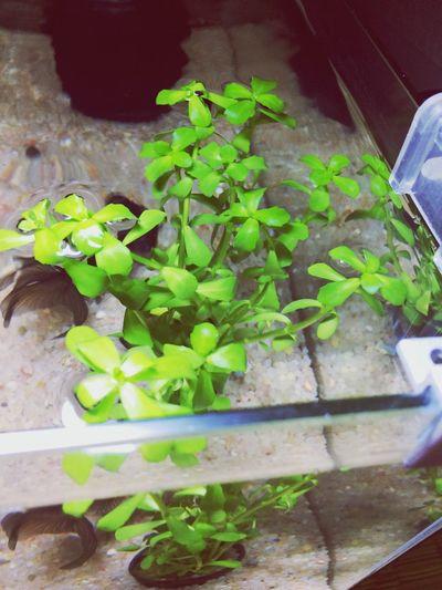 Fish Peces Peces :) Acuarofilia Creciendo Cultivandoapureza Cultivando Pescadito Guay
