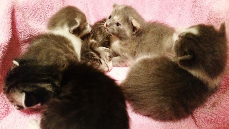 ◇ Litter of Kittens ◇ Litter Kitten Cats Pets Baby Animals Young Animal Newborn Kitties Kittens Baby Just Born Animal Cats Cat Lovers New Naturelovers Farmlife Animal Themes Alabama No People Pet Portraits Backyard Rural America Mobile Photography OpenEdit Pets Dog Domestic Cat Close-up Kitten Cat Whisker Feline Tabby Pet Bed Young Animal Paw Tabby Cat At Home