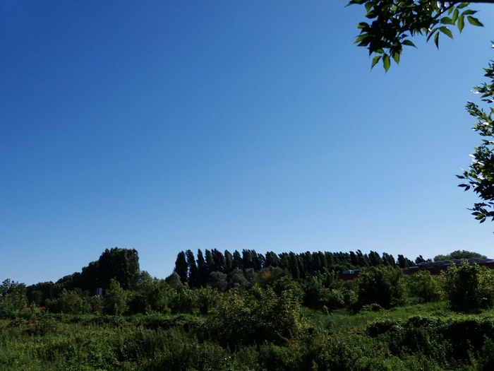 Trees in line Tree Nature Beauty In Nature Agriculture Large Group Of Animals Sky Landscape Day No People Growth Outdoors Plant Blue Scenics Clear Sky Grass Animal Themes Mammal Milano The Week On EyeEm EyeEmNewHere Peschiera Borromeo Sommergefühle Clear Sky Beauty In Nature