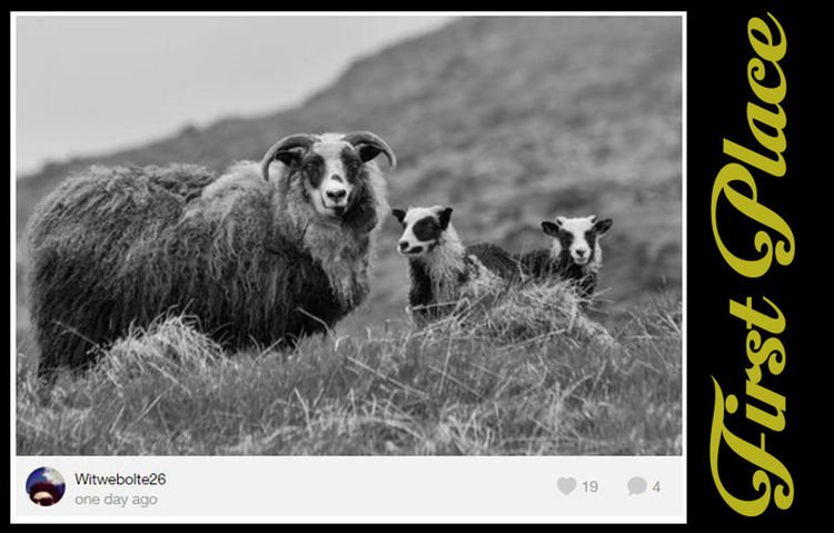 Congratulations @Witwebolte26, Absolutely a great piece of work, for me this one fits straight into a travel magazine on Scotland or so! The black and white really works well in the image (soft contrasts, great sharpness), the interaction between the subject and the watcher is appealing, the depth of field is beautiful, the setting is great and the lambs are supersweet :D. There is really little for me where this image could be improved. Also, the sheep are placed in such way that they don't break the line of the background, which makes it pleasing to the eye. I have been thinking if there is anything that I could add that would improve the image, and the only thing (after long thinking) that could have made it more interesting is if there was some afternoon sun from the background, to get a bit more playing with light, Great work! And good luck organizing the next BNW_Friday_Eyeemchallenge! BNW_farm_animals Bnw_friday_eyeemchallenge