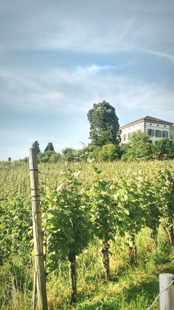 Vineyards for days Tree Sky Cloud - Sky Fence Vineyard Vine Winemaking Grape Winery Wooden Post Vintner Vine - Plant