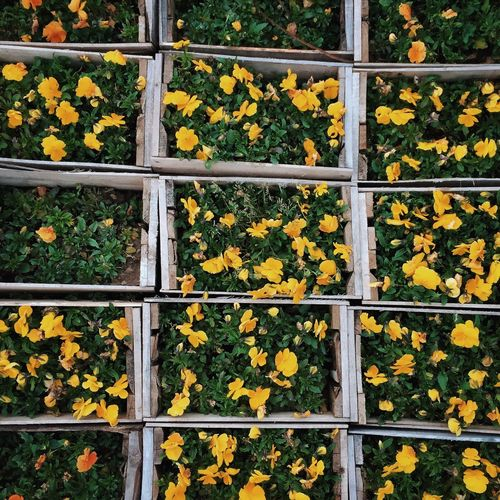Full frame shot of yellow flowers blooming at nursery