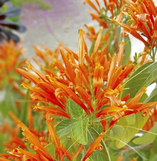 Botany Close-up Flower Flower Head Justicia Spicigera Mexican Honeysuckle Orange Flowers Orange Plume Flower Petal