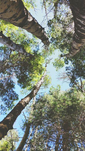 Spires of Aspens Aspens Beautiful Forest Sun Green Wilderness Calling Lookingup
