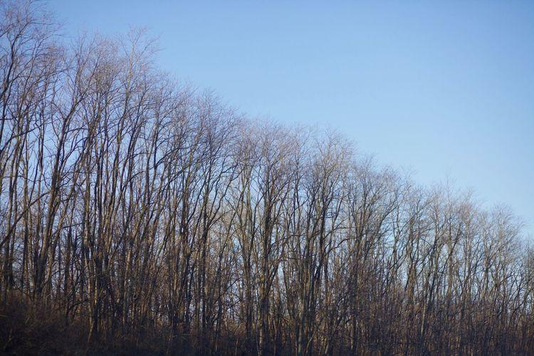 Bare Tree Blue