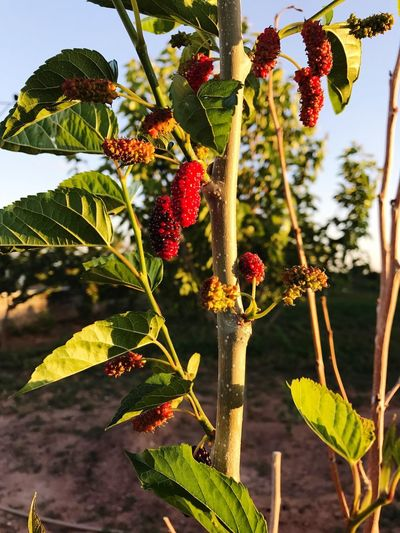 Mulberry Fruit Growth Leaf Food And Drink Tree Green Color Plant