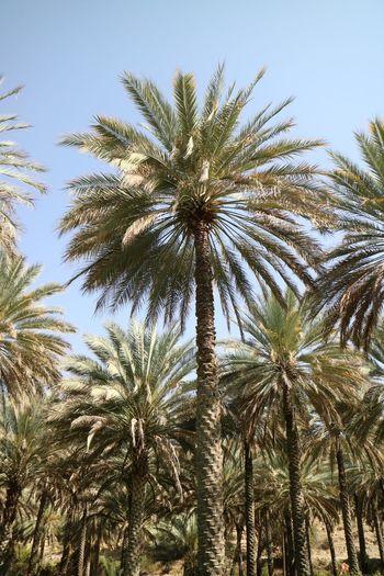Oman Palm Tree