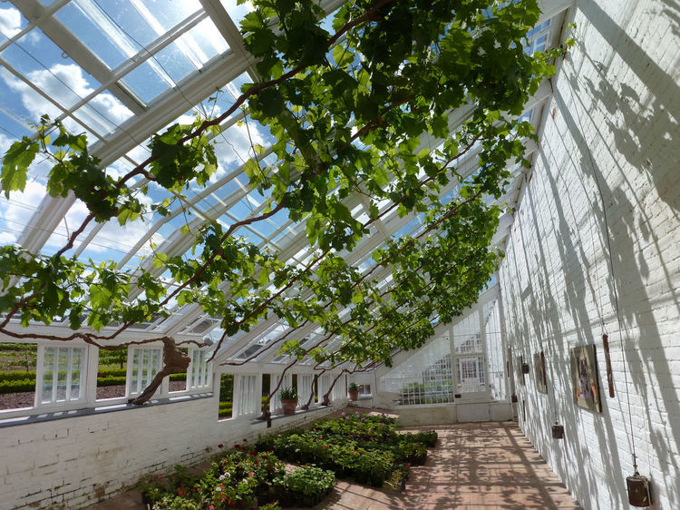 Audley End Greenhouse Growth In A Row Vines