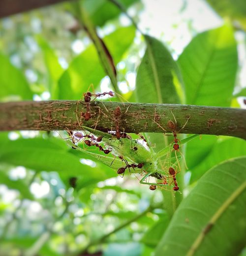 Animal Wildlife Animals In The Wild Leaf Animal Themes Green Color Nature Day One Animal Outdoors No People Branch Insect Close-up Camouflage Tree Reptile Cooperation Team Work