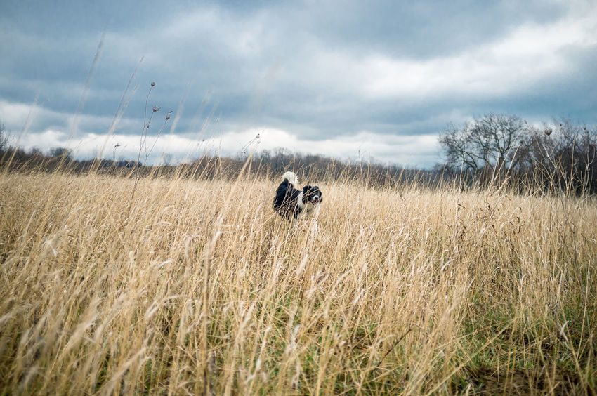 Autumn Border Collie Cloud Domestic Life Field Pet Photography  Pet Portraits Playing With The Animals Cloud - Sky Collie Day Dog Domestic Animals Field Grass Landscape Nature No People Outdoors Pet Sky Spring