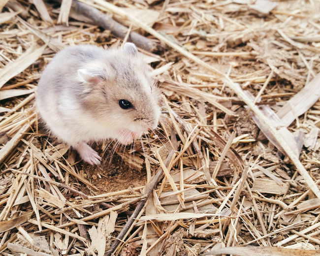 High angle view of hamster on dirt
