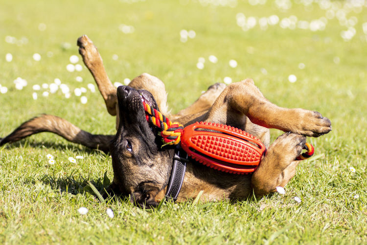 View of a dog resting on field