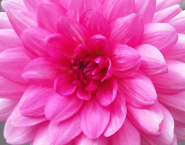Dinnerplate Dahlia's