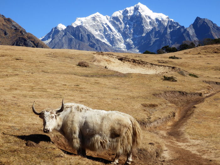 Animal standing against mountains