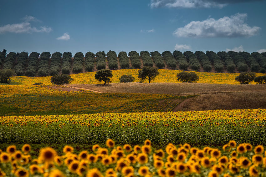 Cultura de Girassol Agriculture Beauty In Nature Colors Cultivated Land Day Flower Landscape Nature Nature Rural Scene Tranquility Yellow