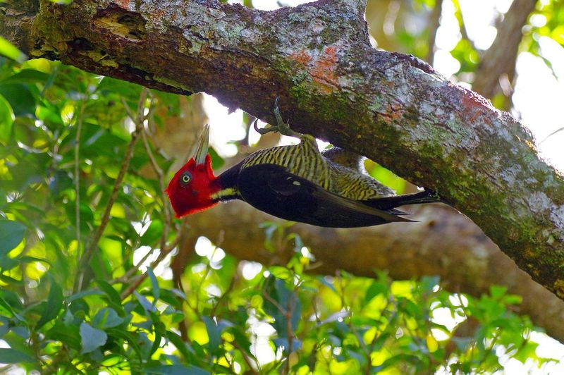 Monteverde, Costa Rica Campephilus Guatemalensis Pale-billed Woodpecker Picamaderos Piquiclaro Animal Wildlife Animals In The Wild Beauty In Nature Bird One Animal Perching Pic à Bec Clair