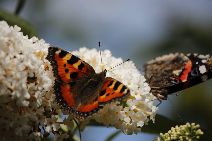 Flinders op flinderstruik Butterfly - Insect Butterfly On Flower Vlinder Vlinderstruik Hurdegaryp Friesland Nederland Taking Photos Check This Out
