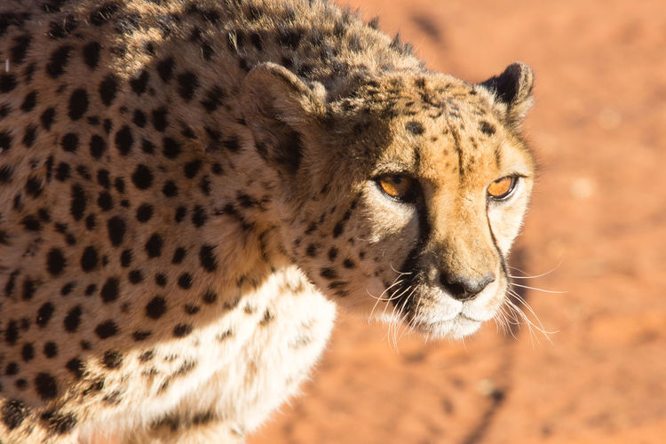 Close-Up Portrait Of Cheetah