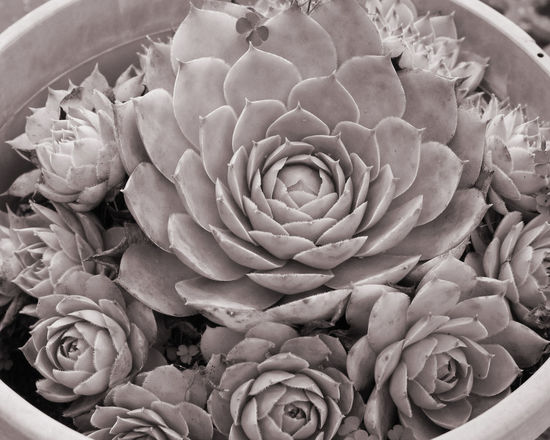 Art Black And White Close Up Cropped Fibonacci Fibonacci In Nature Fibonacci Plant Fibonacci Ratio Fibonacci Rule Fibonacciratio Fibonaccispiral Focus On Foreground Nature Photography Succulent Succulent Plant Succulent Plants Succulents The Great Outdoors - 2017 EyeEm Awards