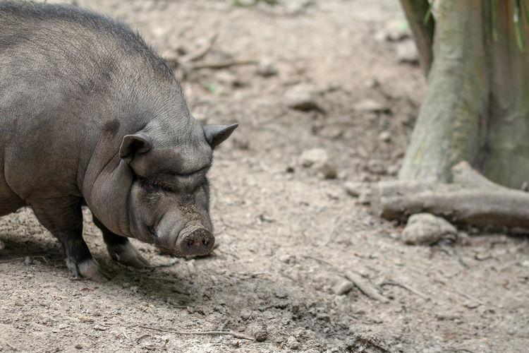 Close-up of a pig