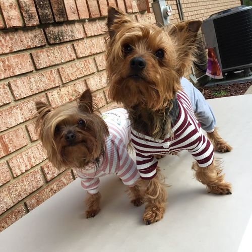 Dogs Dogs Of EyeEm Yorkshireterrier Yorkshire Yorkies YorkieBestShots Yorkshire Terrier Yorkie ♥ Music Music Notes Pet Clothes Yorkieselfie Yorkie With Bow Dress Up Yorkielove Cute Pets Pets Adorable Eyes Cutest Dogs  Petsagram Yorkiesofinstagram Pet Clothing Yorkshire Terrier♡ Pet Selfie