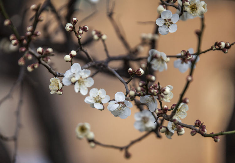 Plant Flower Flowering Plant Growth Beauty In Nature Tree Fragility Freshness Close-up Vulnerability  Branch Focus On Foreground Selective Focus No People Springtime Day Twig Nature Blossom Petal Outdoors Flower Head Cherry Blossom
