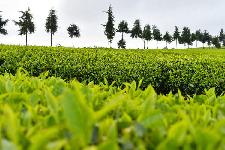 Scenic view of agricultural tea field against sky