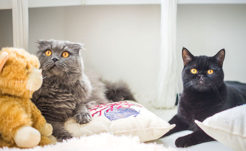 Animal Themes Domestic Animals Domestic Cat Feline Indoors  No People Pets Portrait Purebred Cat Scottish Fold Two Cats Whisker