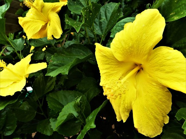 Hibiscus 🌺 Beauty In Nature Blooming Close-up Day Flower Flower Head Fragility Freshness Growth Leaf Nature No People Outdoors Petal Plant Tropical Climate Yellow Paint The Town Yellow