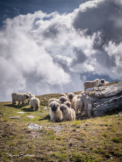 Valais blacknose sheep on field against cloudy sky