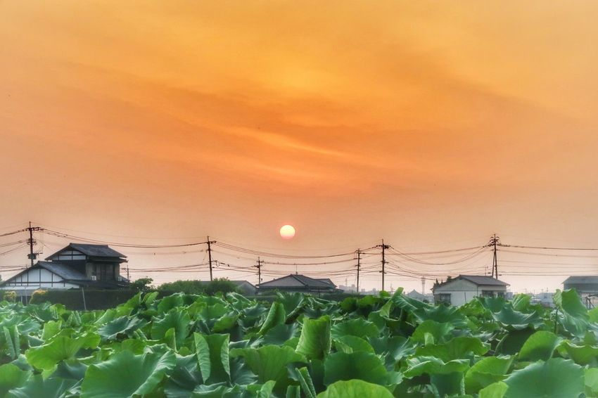 蓮根畑 蓮根 朝日 蓮 日の出 レンコン Lotus Flower Flower Of A Lotus EyeEm Nature Lover Beauty In Nature EyeEm Gallery EyeEm Best Shots Sunrise Morningglory Sun Plant Beautiful Pink Color Freshness Sky Pritty Cute Follow Leaf