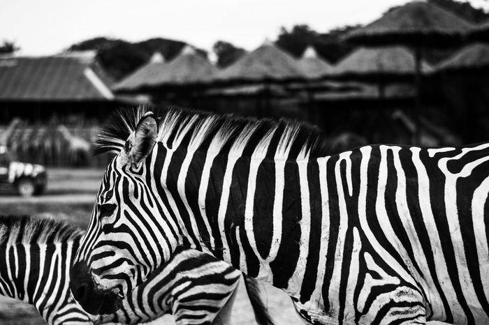 Animal Animal Wildlife Black And White Day No People Outdoors Zebra Zebra Pattern