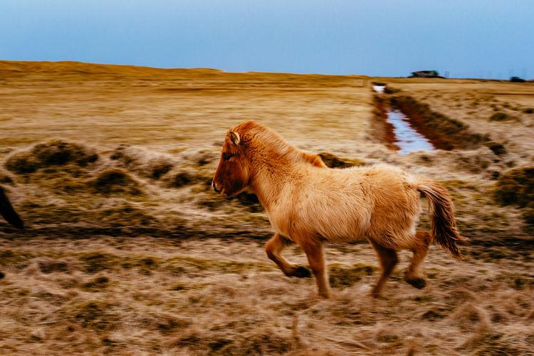 Icelandic horse running on field