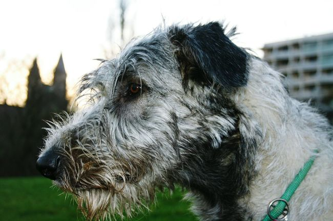 Taking Photos Cheese! Dogs Of Autumn Animal_collection Dogsofinstagram Four Legs And A Tail My Dogs Are Cooler Than Your Kids Dog❤ Showcase: December Dog Of The Day Autumn 2015 Dezember Magdeburg How's The Weather Today? Cearnaigh Irish Wolfhound I Love My Dog❤