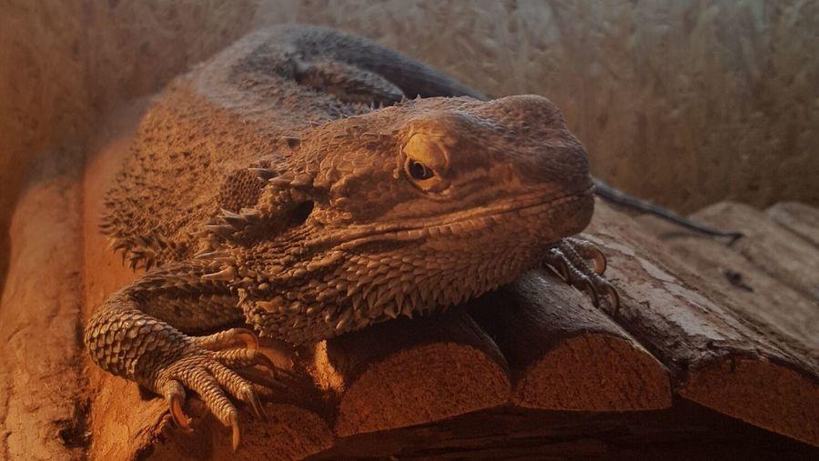 Reptile One Animal Pogona Pogona Vitticeps Lizard Lezard Pet Portraits