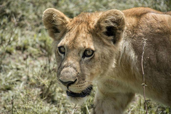 Lion in the Serengeti Africa Lion Tanzania Hello World Safari Wildlife Animal Travel Photography Travel The Week On EyeEm