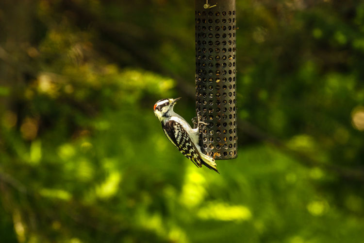 Animal Themes Animal Wildlife Animals In The Wild Bird Bird Feeder Close-up Day Flying Focus On Foreground Mid-air Nature No People One Animal Outdoors Spread Wings Tree Woodpecker
