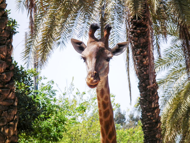 Head of a giraffe walking in the jungle Animal Themes Beautiful Body Part Day Forest Giraffe HEAD High Jungle Long Mammal National Nature Neck No People Outdoors Palm Park Safari Tall Tourism Travel Tree Wildlife Zoo