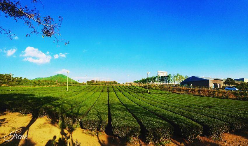 JEJU ISLAND  O'sulloc Tea Museum Teafield Seogwipo Sky Blue Sky Green Tea Feel The Journey