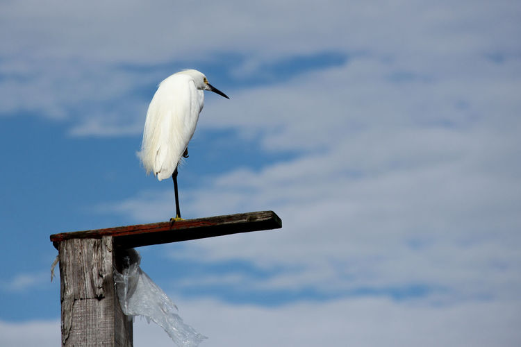 Great Egret Perching On Wooden Post Against Sky