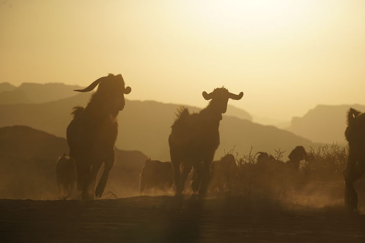 Silhouettes Of Domestic Animals Running  On Field
