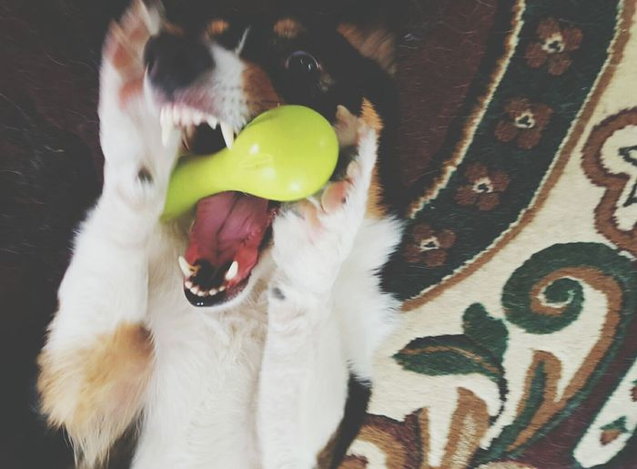 I'm So Happy! Let's Play! Dogs At Play Pets Dogs Toys This Week On Eyeem Corgi Capture The Moment