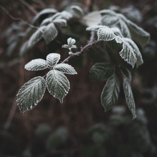 Close-up of frozen leaves