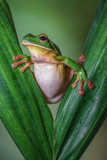 White lipped frog in leaf