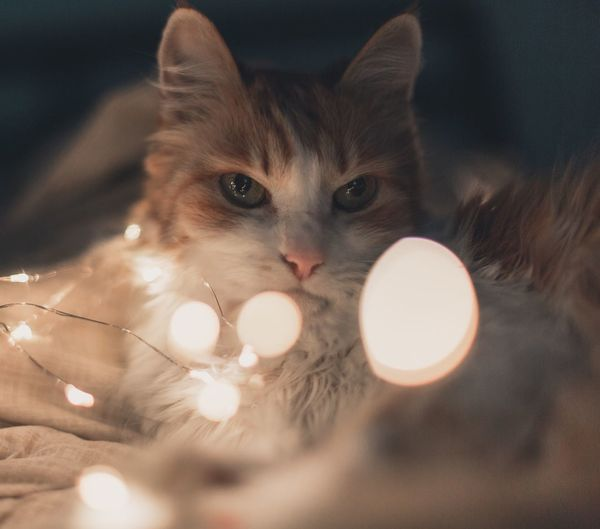 Domestic Cat Mammal Pets Indoors  Domestic Animals Feline One Animal Animal Themes Celebration Home Interior Looking At Camera No People Close-up Portrait Day